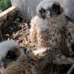 Por primera vez en 100 años en Dinamarca, los halcones se reproducen cerca de Copenhague