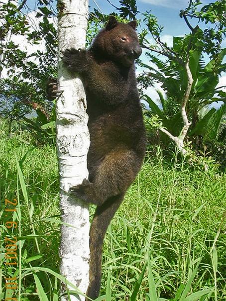 En peligro el canguro arbóreo de Papúa Nueva Guinea, por construcción de carretera