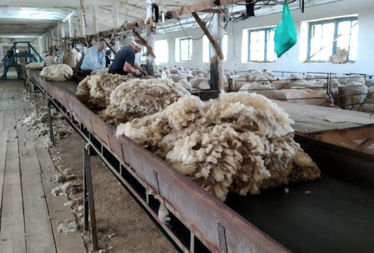 Stavropol sigue siendo líder en la producción de lana de vellón semifino