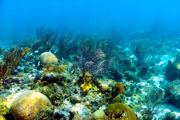 Estudian factores del blanqueamiento de los corales en el arrecife alacranes